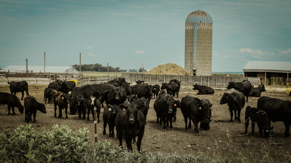 Iowa,-the-cows-are-not-happy-PS